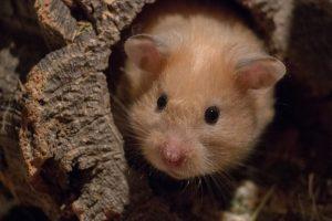 Escondite Hamster