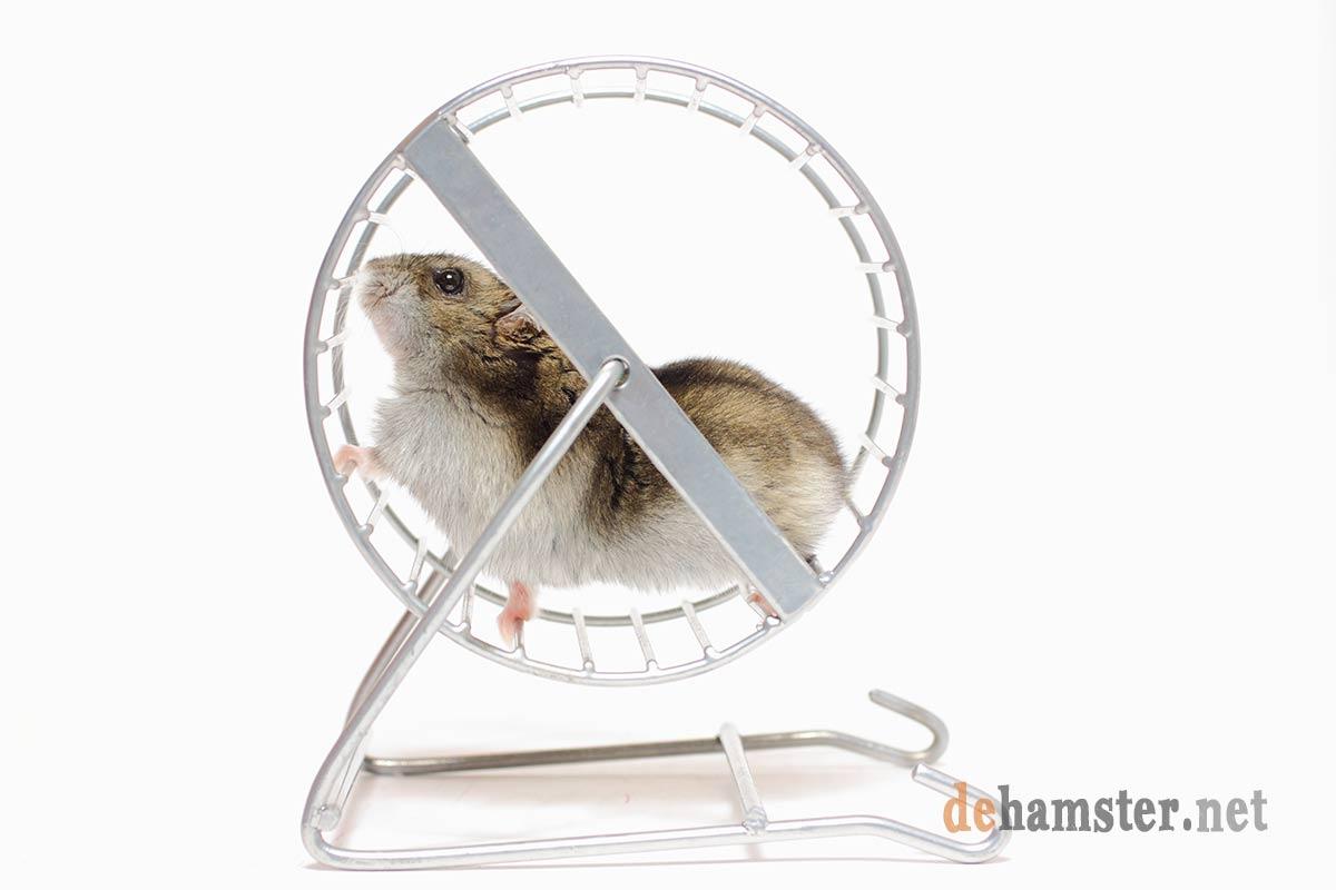 Hamster-en-rueda-wheel