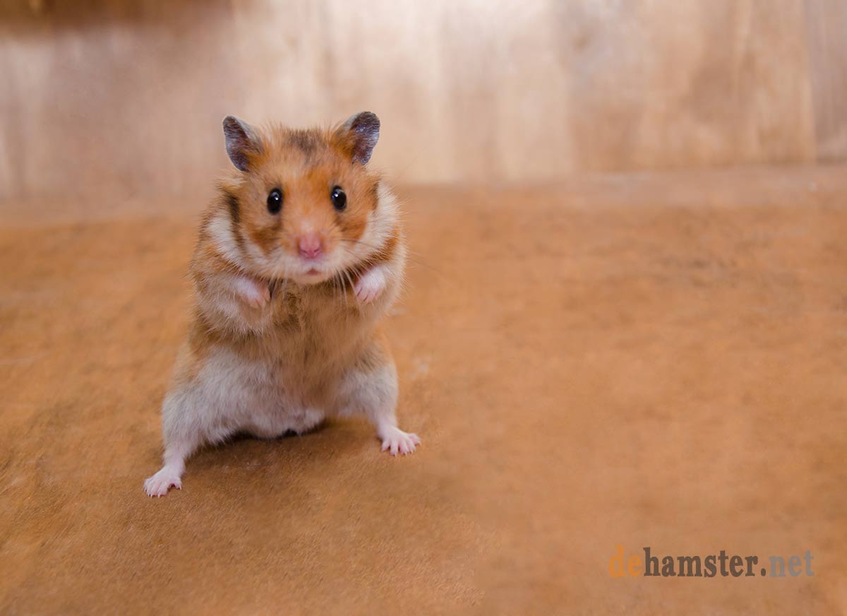 hamster tiembla