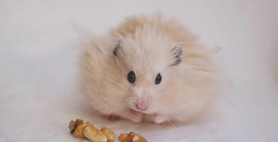 El hamster de angora