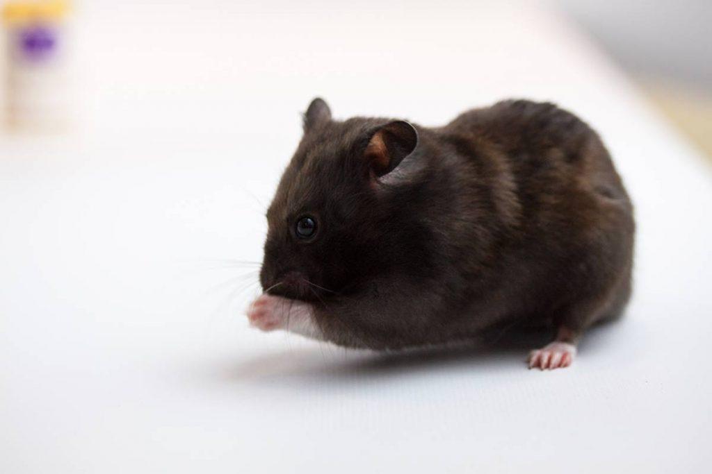 el hamster oso negro