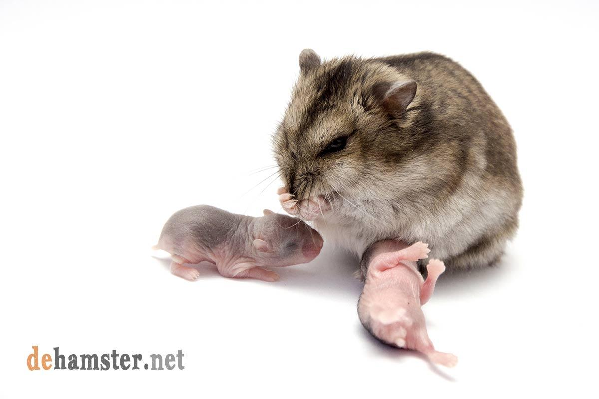 hamster-con-crias