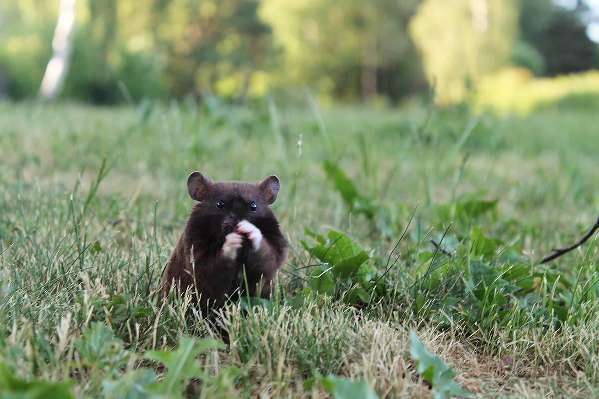 Oso Negro Hamster