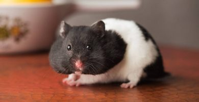 hamster panda en la mesa