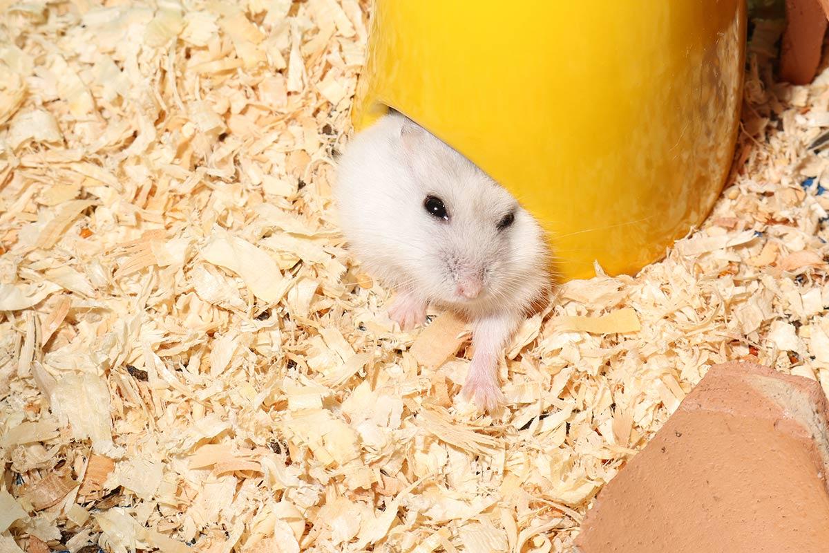 casa hamster ruso