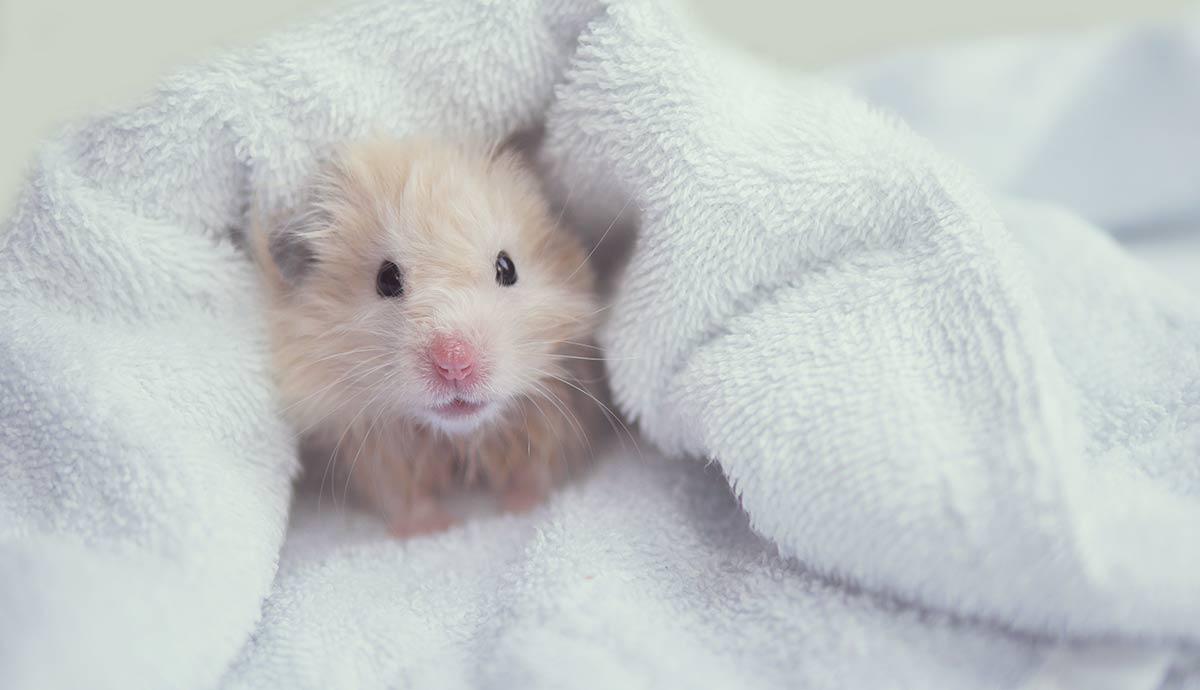 Hamster ruso limpio