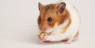 hamster-sirio-comiendo