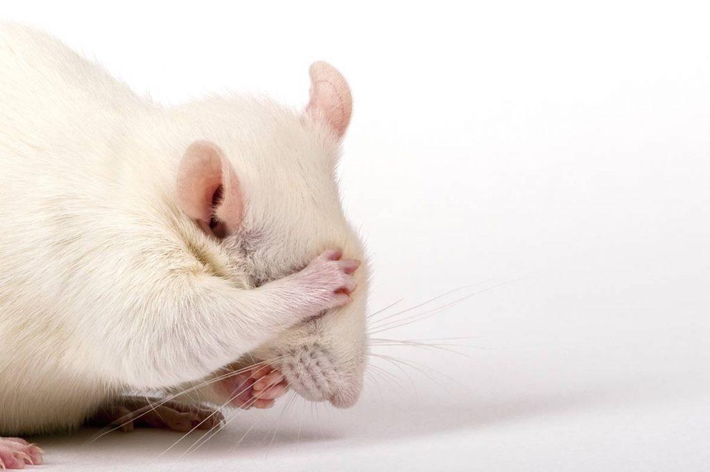 El hamster albino