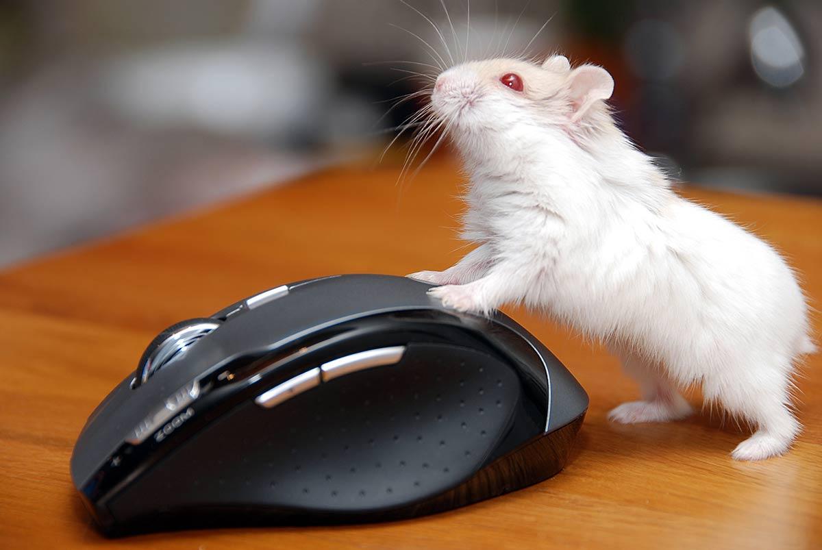 como es el hamster albino