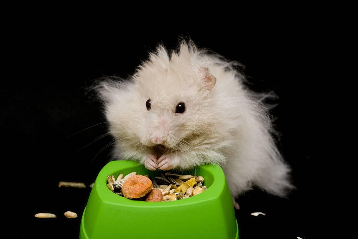 hamster angora comida
