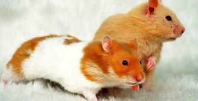 raza arlequin hamster