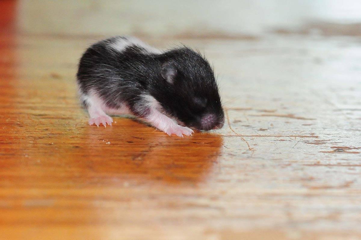 hamster panda bebe