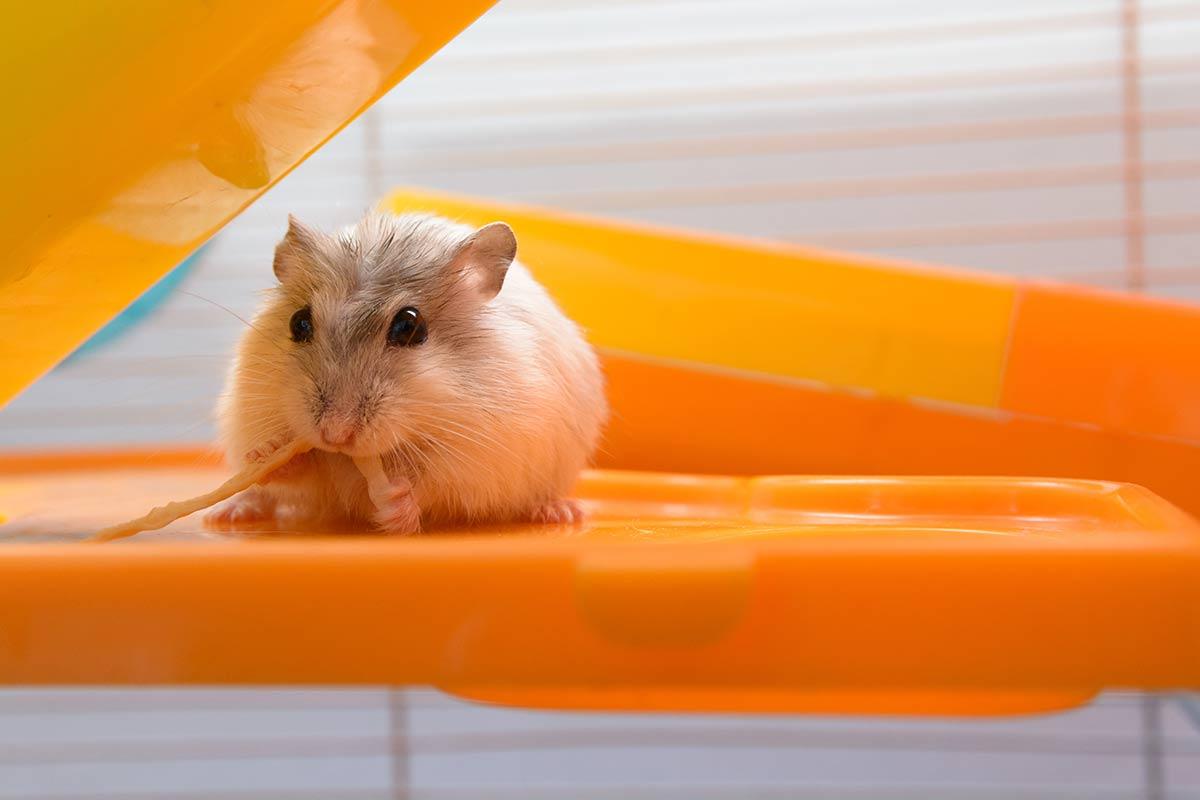 Hamster ruso jugando