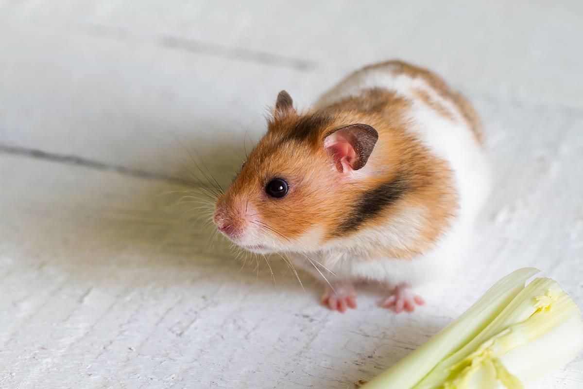 Hamster sirio comun