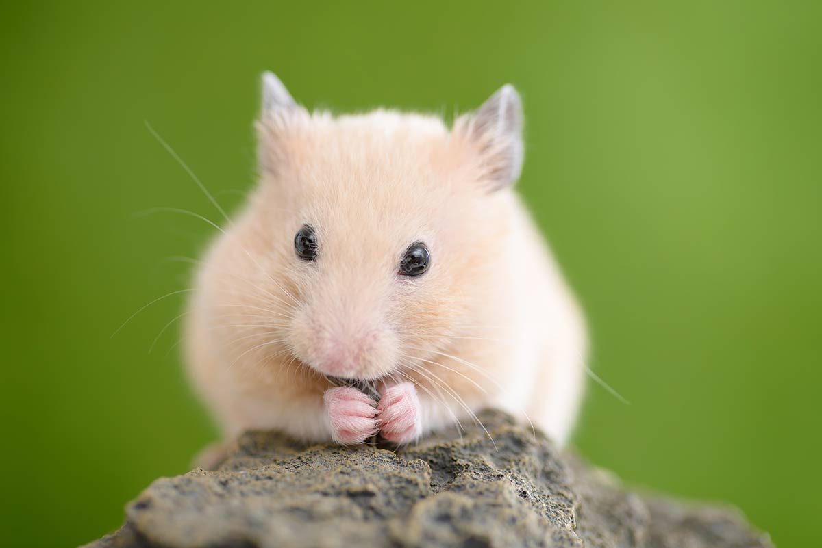 hamster dorado