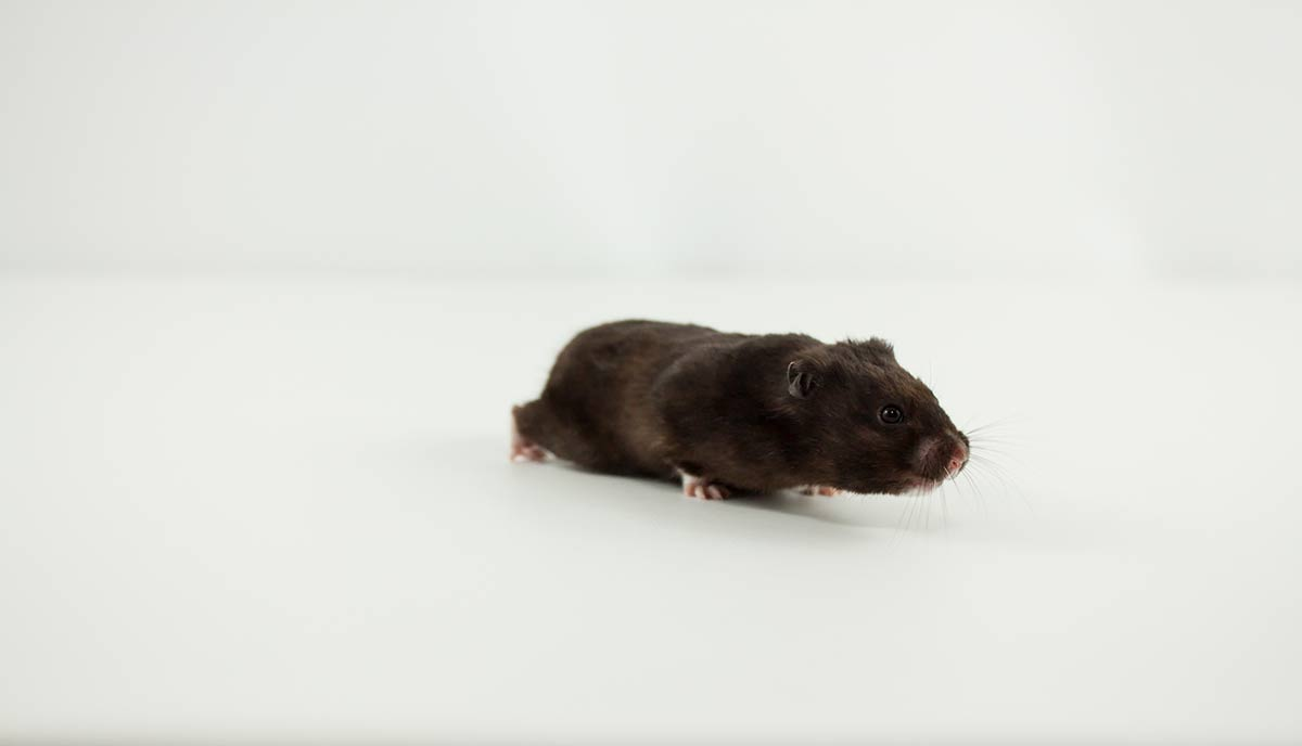 comportamiento hamster oso negro