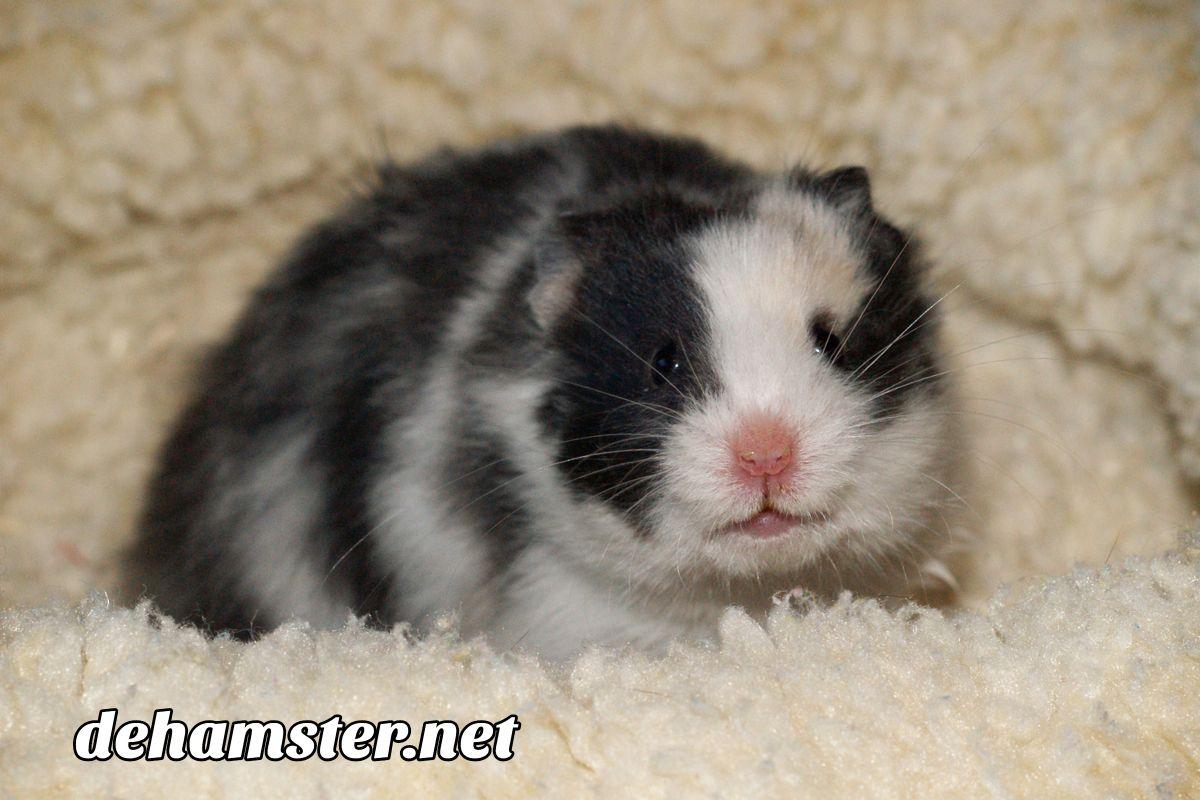 cuidar hamster panda
