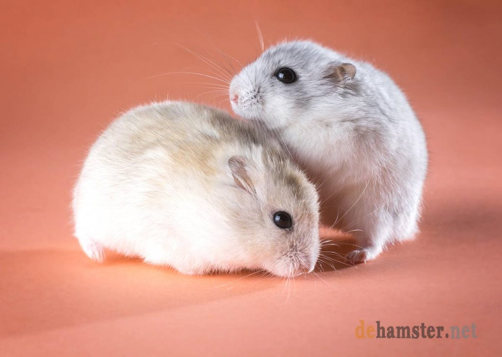 pareja-hamsters