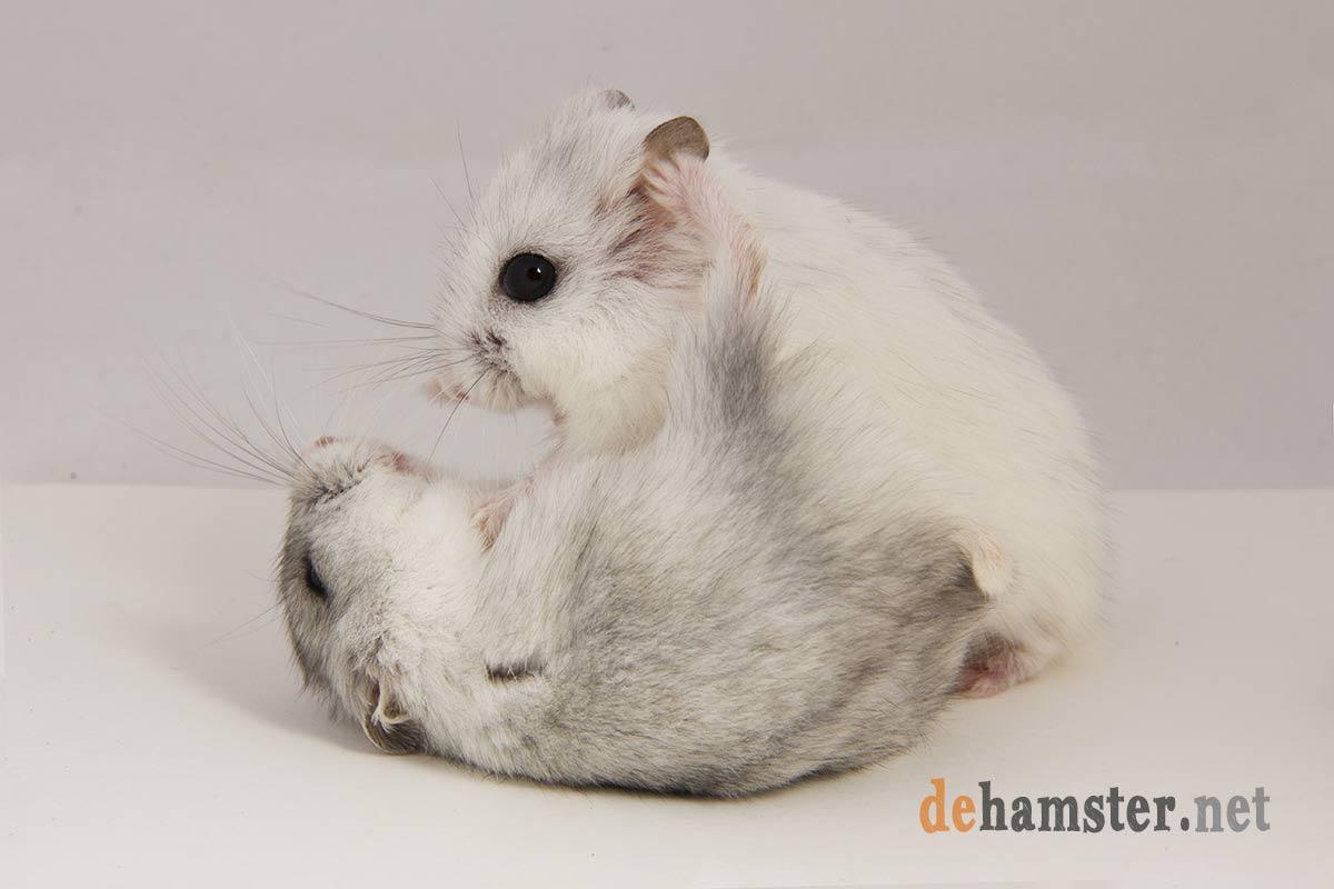 pelea-hamsters