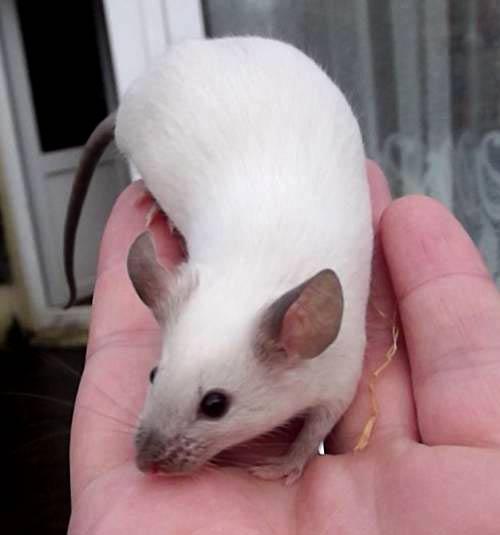 que comen hamster siames