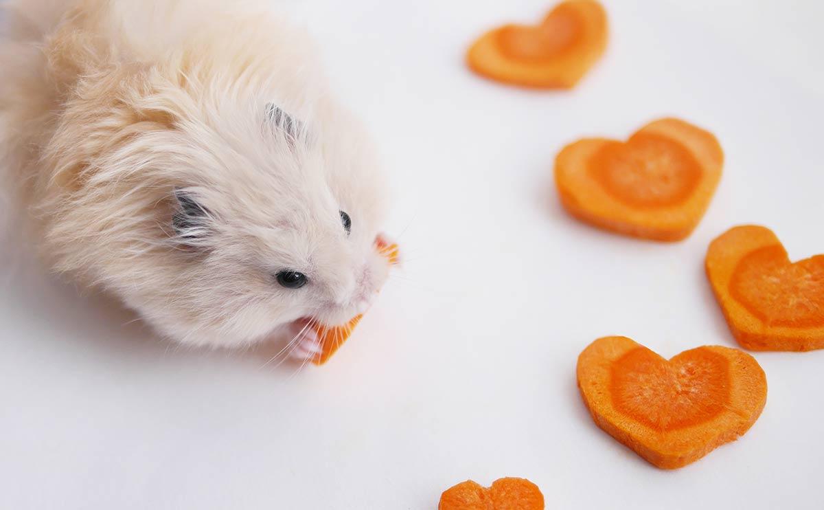 hamster teddy