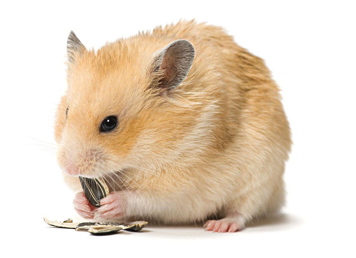 cuidar hamster invierno