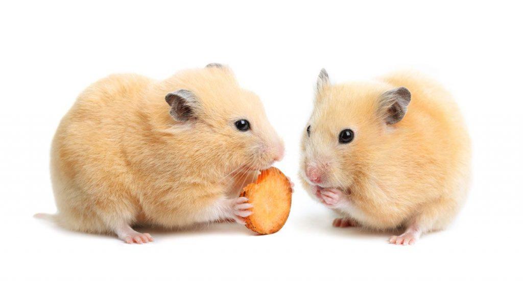 que come un hamster